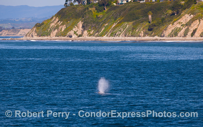 A Gray Whale (Eschrichtius robustus) nears the Point.