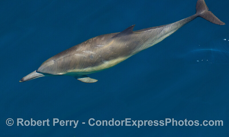 Portrait of a Long beak Common Dolphin (Delphinus capensis).
