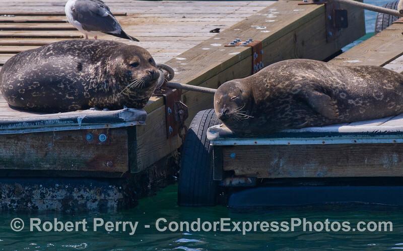 Two Harbor Seals (Phoca vitulina).