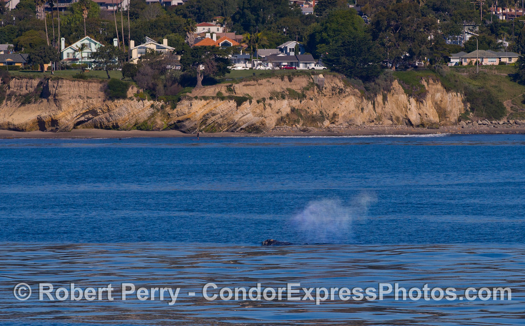 Homes, traffic and a stand up paddler share the crystal morning conditions with a northbound Gray Whale (Eschrichtius robustus).