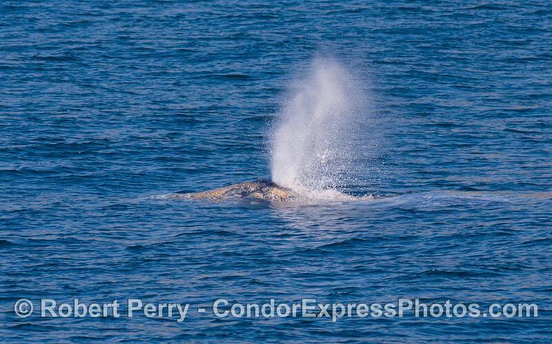 A close look at a Gray Whale (Eschrichtius robustus) as it spouts.