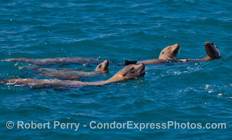 A pack of California Sea Lions (Zalophus californianus).