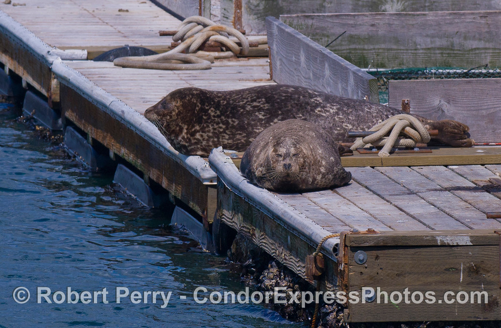 Two Harbor Seals (Phoca vitulina).