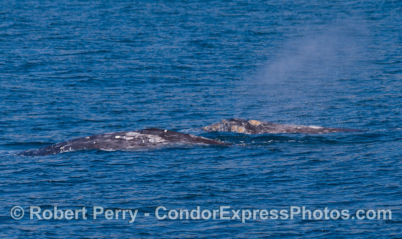 Two Gray Whales (Eschrichtius robustus), side by side.
