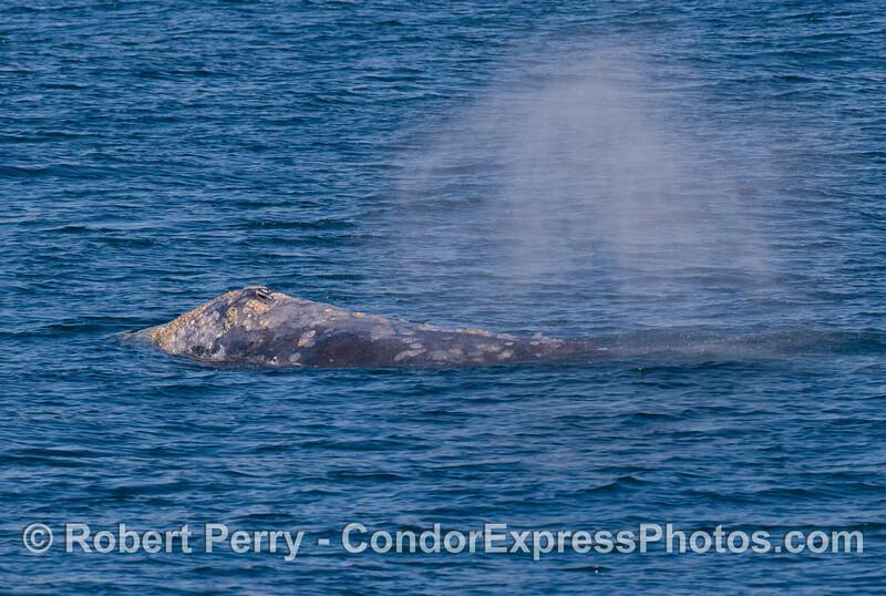 Gray Whale (Eschrichtius robustus) - head and splashguard.