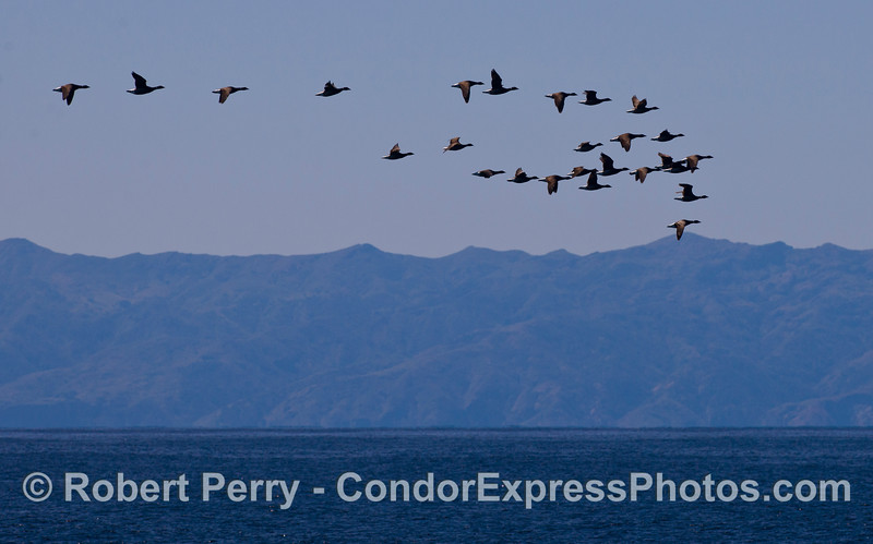 A formation of Brandts (Branta bernicla), like the Gray Whales, are migrating back home to Alaskan waters from the lagoons of Baja California.