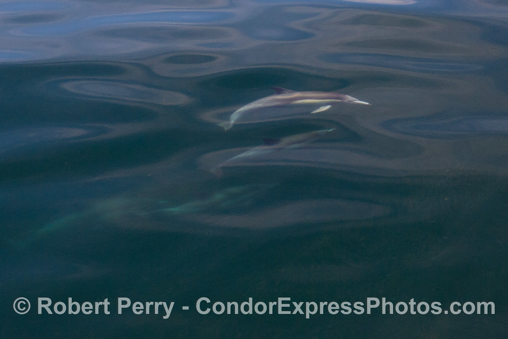 A few Common Dolphins (Delphinus capensis) below an oily glass surface.