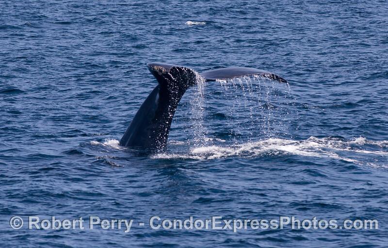 More tail flukes of a Humpback Whale (Megaptera novaeangliae).