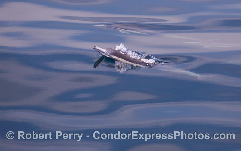 Delphinus capensis  CLOSE 2011 04-11 SB Channel - 002