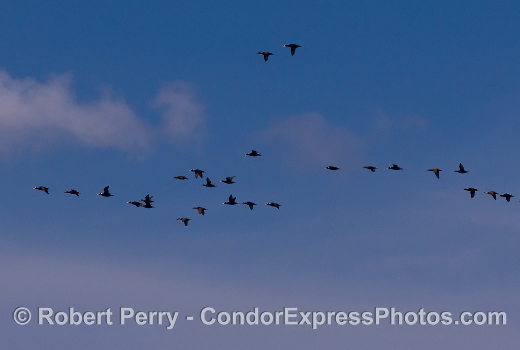 Image 2 of 2:  Close-cropped image of a high-flying flock of Surf Scoters (Melanitta perspicillata).