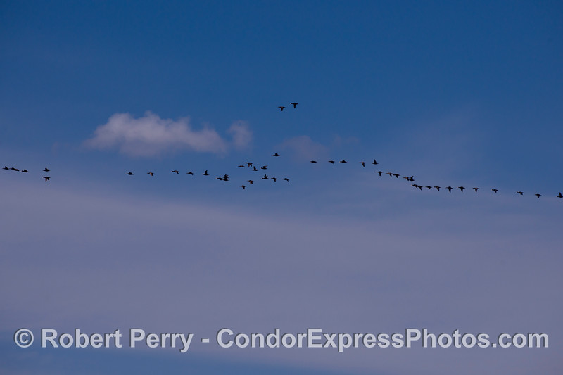 Image 1 of 2:  Wide angle image of a high-flying flock of Surf Scoters (Melanitta perspicillata).