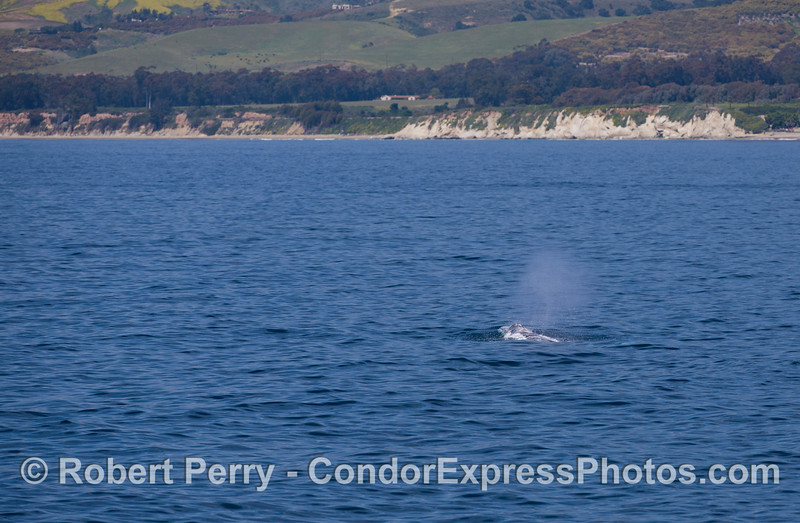 Another Gray Whale (Eschrichtius robustus) spout with the Santa Barbara coastline in the background.