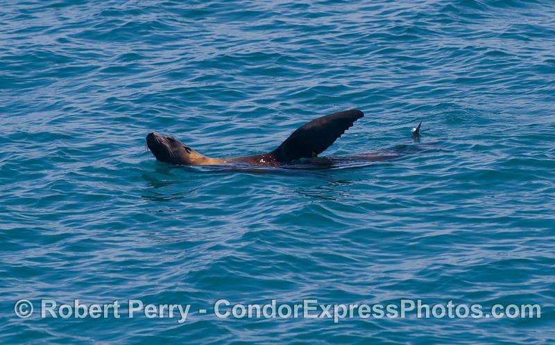 A lone rafting California Sea Lion (Zalophus californianus).