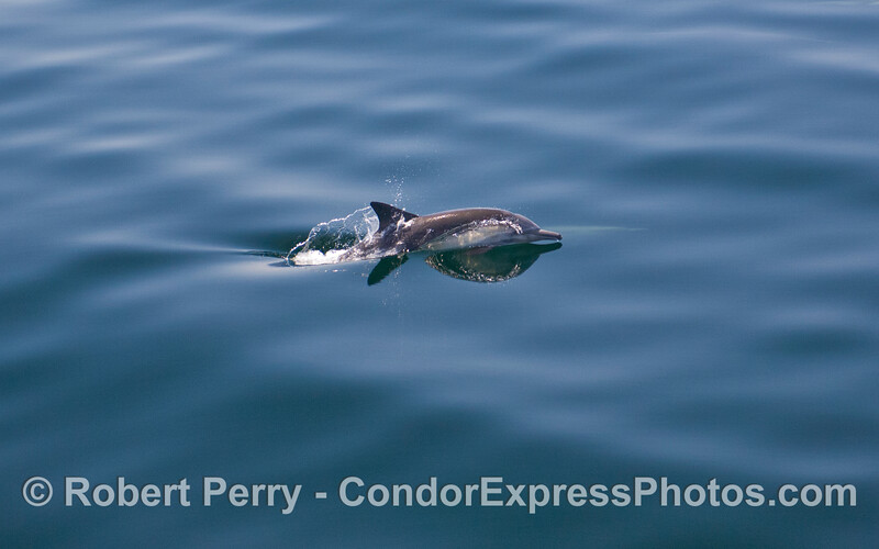 Glassy surface and a Common Dolphin (Delphinus capensis).