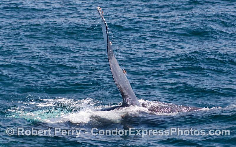 Pectoral fin in the air - Humpback Whale (Megaptera novaeangliae).