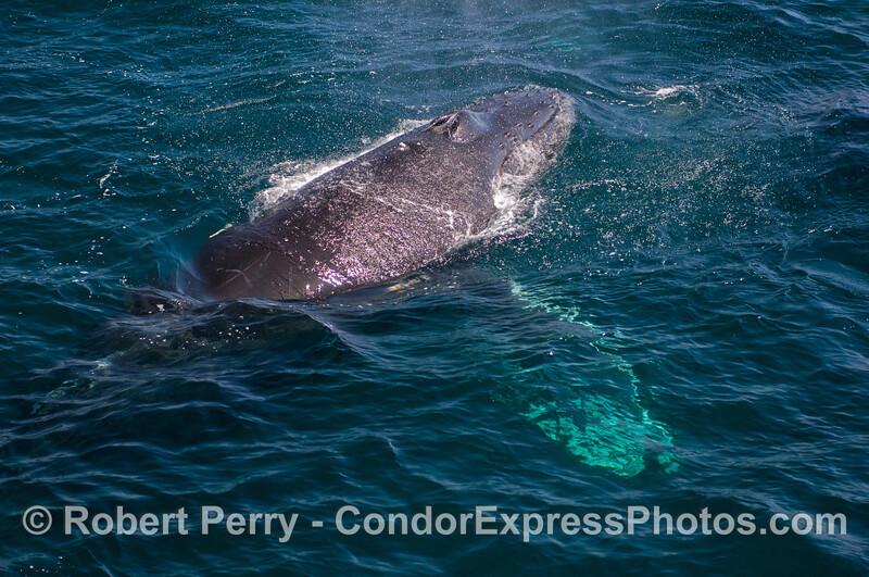 Rostrum, spout and big wings - Humpback Whale (Megaptera novaeangliae).