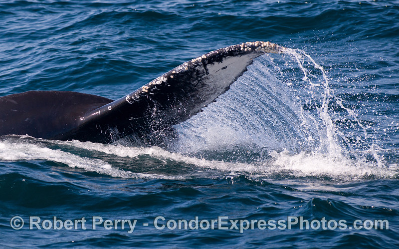 A Humpback Whale (Megaptera novaeangliae) begins to lift its powerful tail.