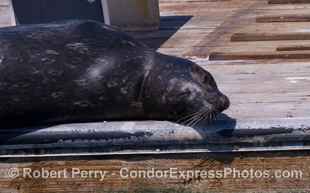 A sleeping Harbor Seal (Phoca vitulina).
