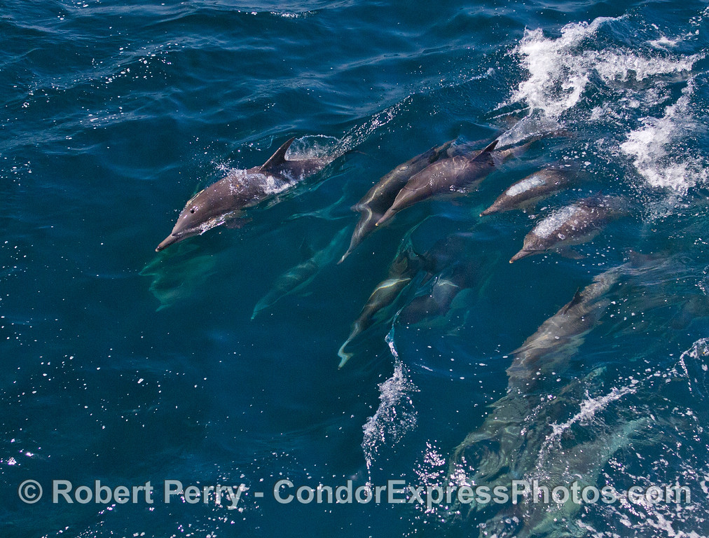 A cascade of Common Dolphins (Delphinus capensis) ride a small wave.