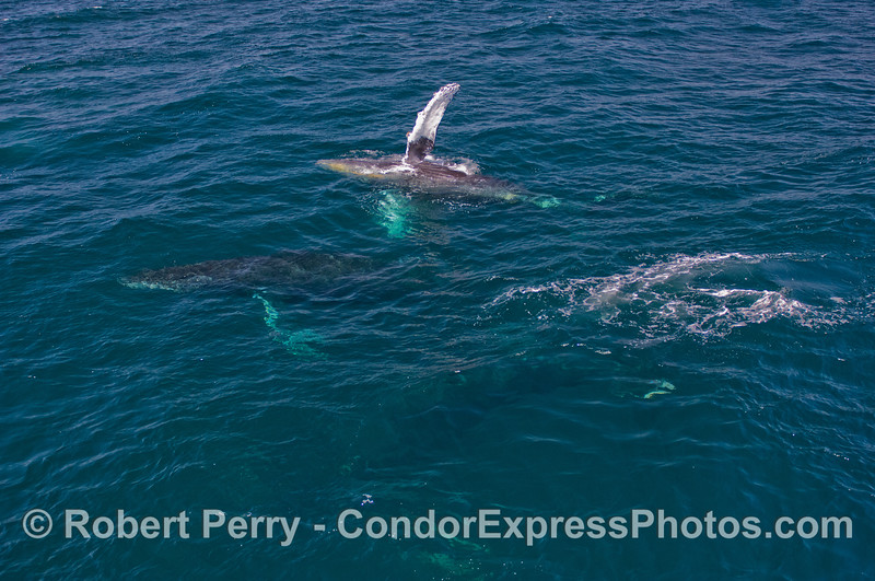 If you look very closely you will see three Humpback Whales (Megaptera novaeangliae) in this image.  The bottom whale has left the surface and the edge of its pectoral flukes and dark body can be discerned.