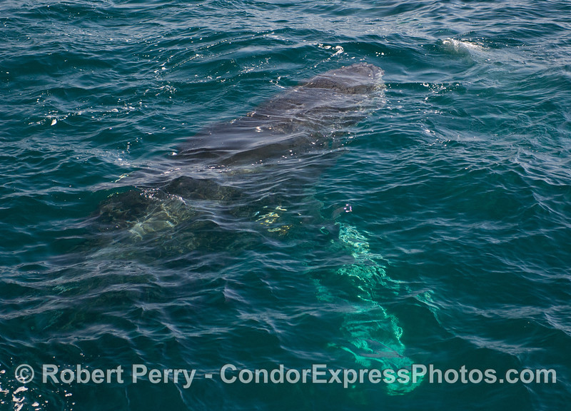 Humpback Whale (Megaptera novaeangliae) comin' up!