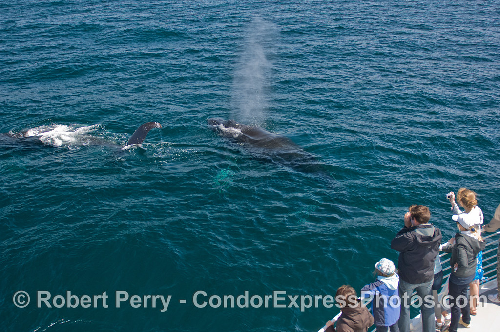 Whalers on board the Condor Express get a friendly visit from two giant Humpback Whales (Megaptera novaeangliae).