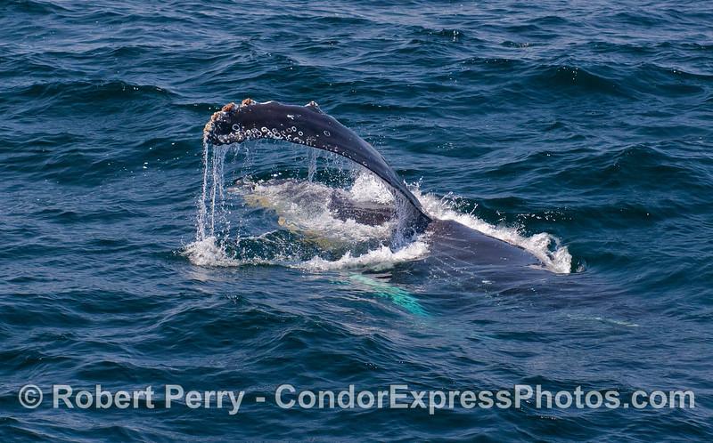 A Humpback Whale (Megaptera novaeangliae) rolls over on its side.
