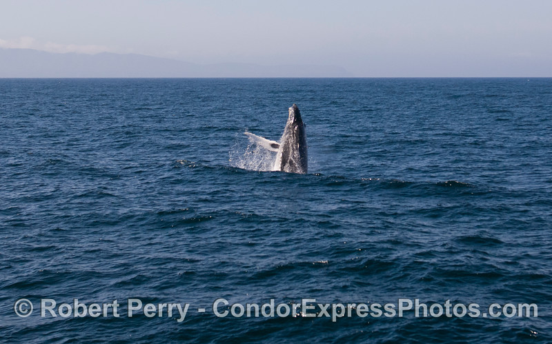 A giant Humpback Whale (Megaptera novaeangliae) is caught in the act of breaching.