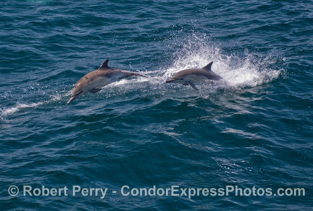 Two leaping Common Dolphins (Delphinus capensis).
