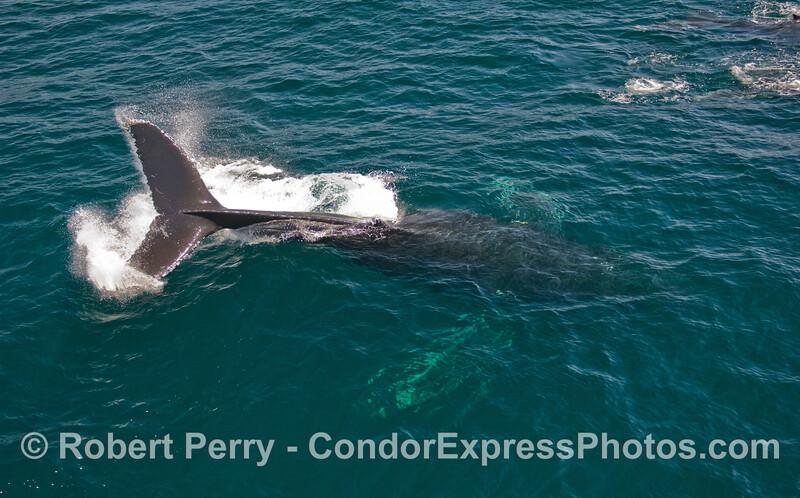 A Humpback Whale (Megaptera novaeangliae) throws its tail.