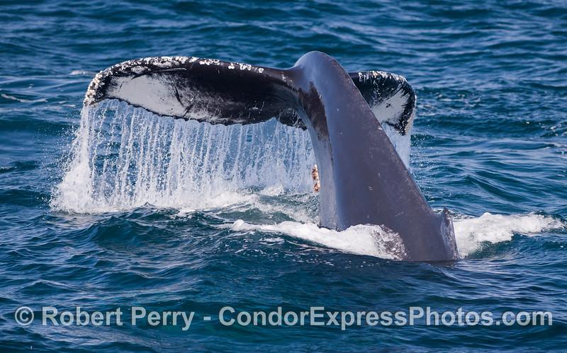 Tail fluke watefall - Humpback Whale (Megaptera novaeangliae).