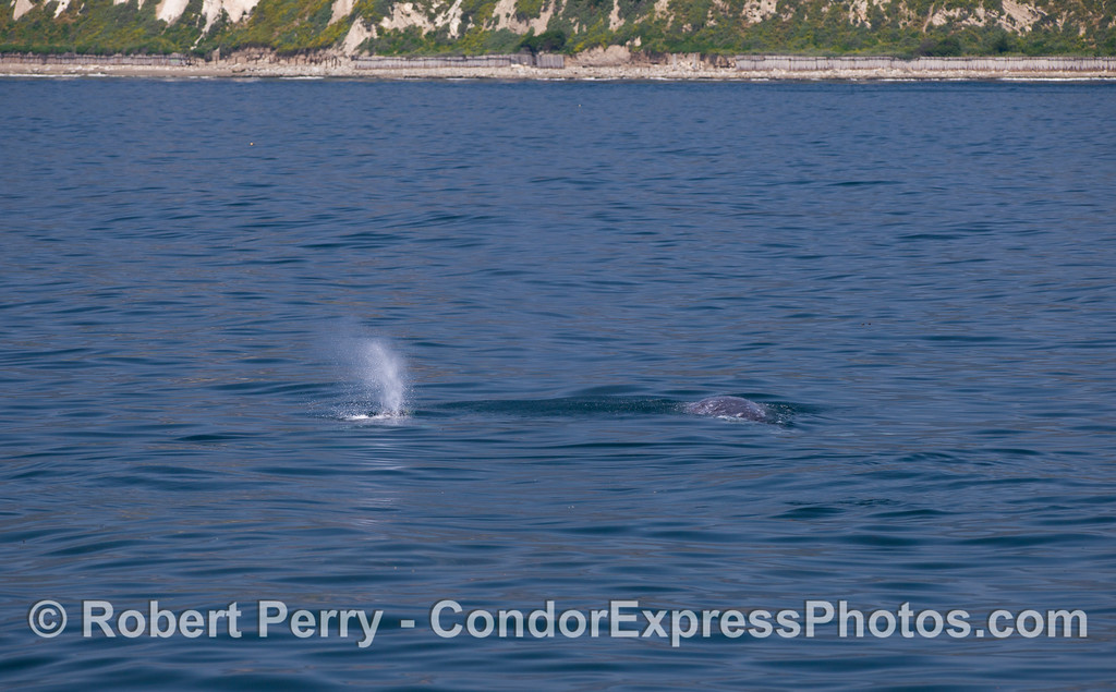 Two Gray Whales (Eschrichtius robustus).  Elwood bluffs, Santa Barbara, are seen in the background.