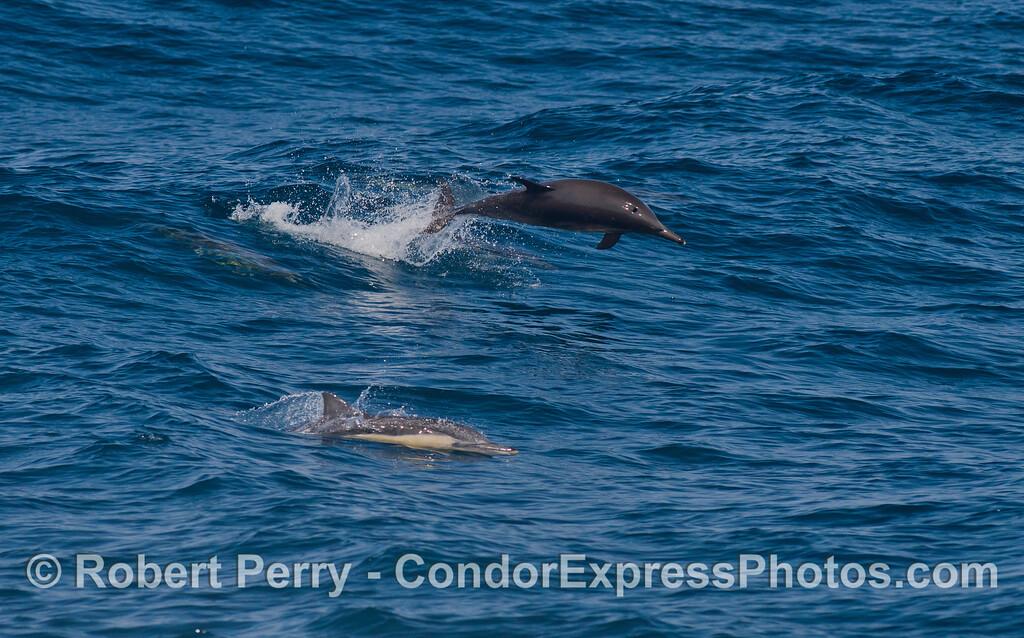 Common Dolphin (Delphinus capensis)