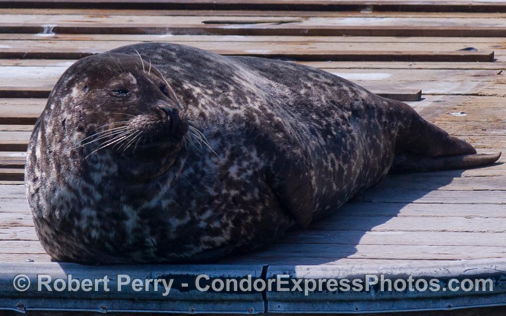 Pacific Harbor Seal (Phoca vitulina richardsonii)