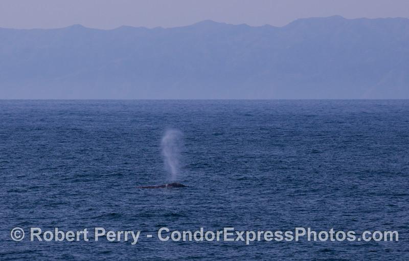 Gray Whale (Eschrichtius robustus).  Santa Cruz Island is in back.