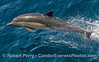 2011 04-14 SB Channel : Incredible looks at Dall's Porpoise, Common Dolphins and two Gray Whales.