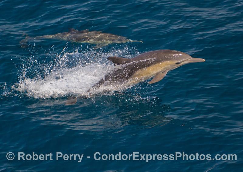 Delphinus capensis 2011 04-14 SB Channel - 013