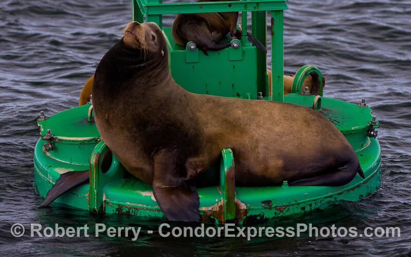 "A large male California Sea Lion (Zalophus californianus) tips the Santa Barbara Harbor entrance buoy.  The scientific name ""Zalophus"" refers to the prominent crest of the head of male sea lions."
