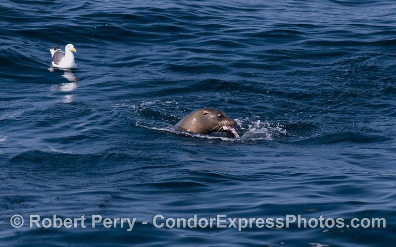A hungry California Sea Lion (Zalophus californianus) eats a fish.