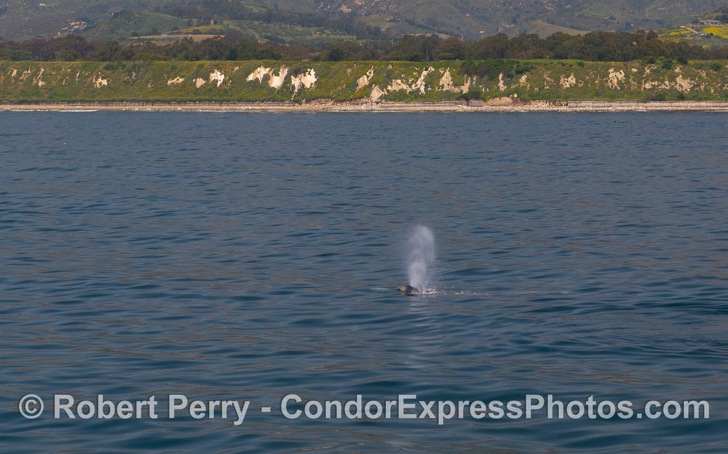 Gray Whale (Eschrichtius robustus).  Elwood bluffs, Santa Barbara, are seen in the background.