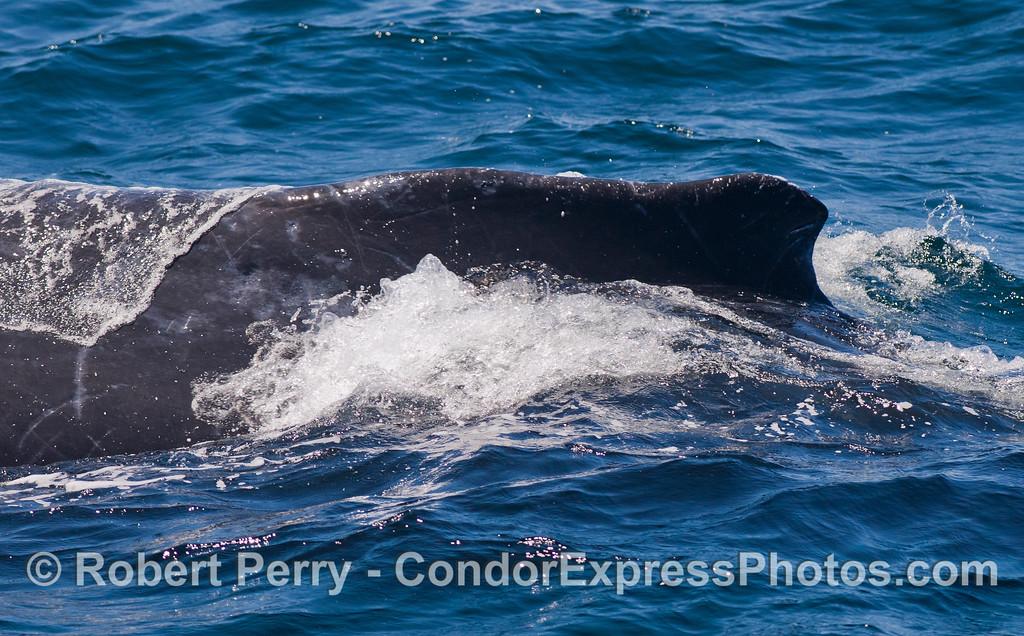 Dorsal fin and hump of a Humpback Whale (Megaptera novaeangliae).
