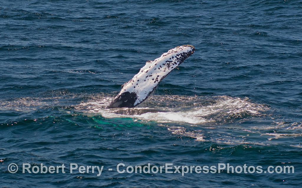 A Humpback Whale (Megaptera novaeangliae) rolls around and shows its left pectoral fin.
