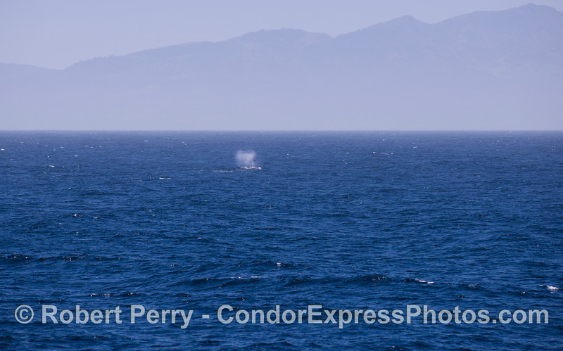 Santa Cruz Island dwarfs the tall spout of a Humpback Whale (Megaptera novaeangliae).
