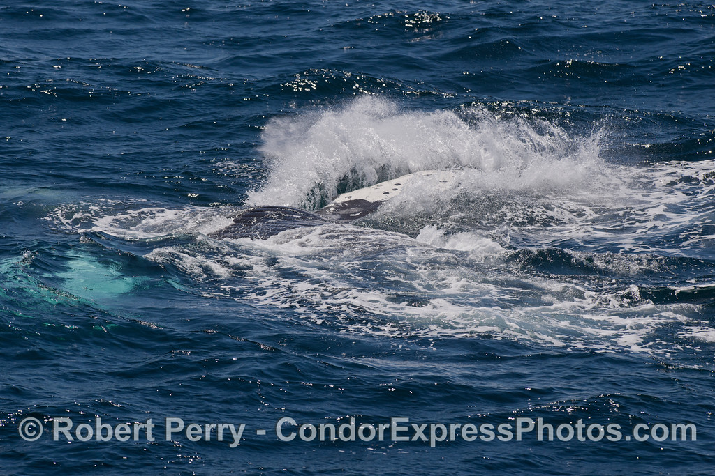 A Humpback Whale (Megaptera novaeangliae) is seen completely over on its back, belly-up, and slapping its pectoral fin.