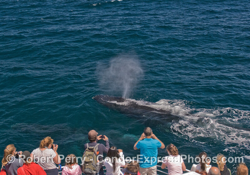 Two Humpback Whales (Megaptera novaeangliae) make a very friendly approach, probably attracted to all those red shirts.