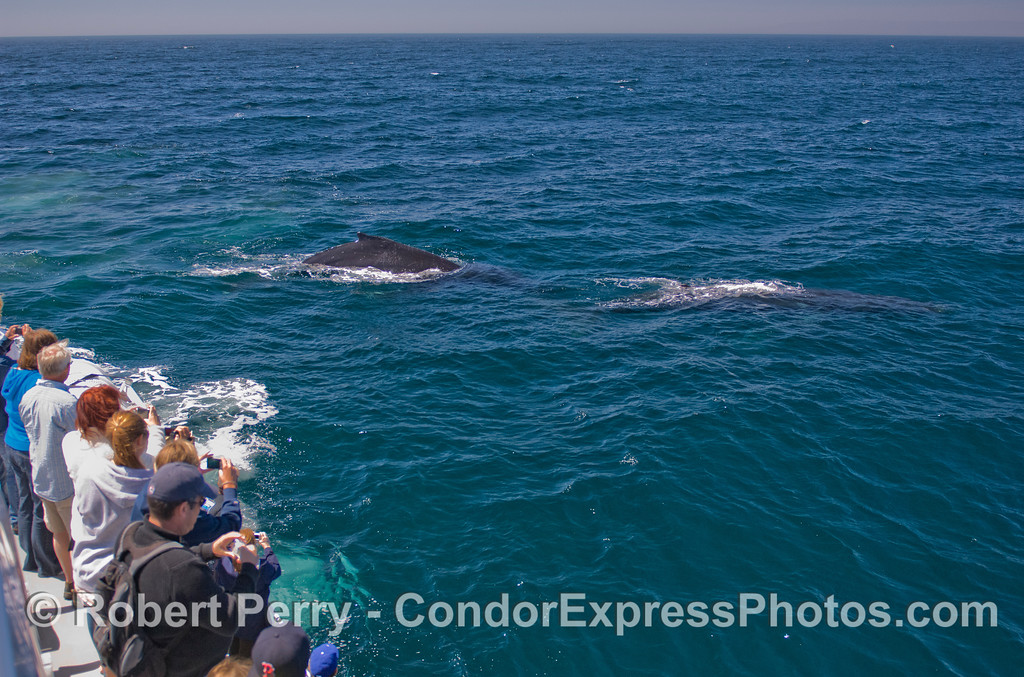Two Humpback Whales (Megaptera novaeangliae) make a very friendly approach.