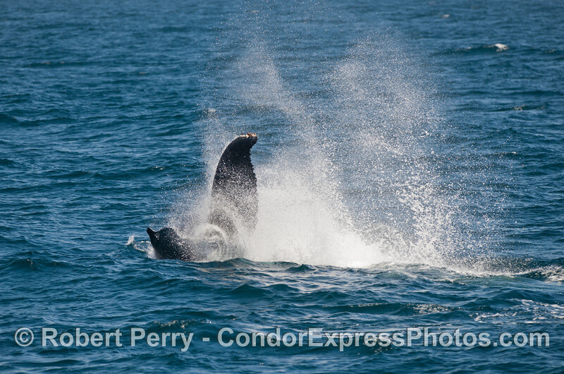 Image sequence 2 of 2: A mighty tail throw from a Humpback Whale (Megaptera novaeangliae).