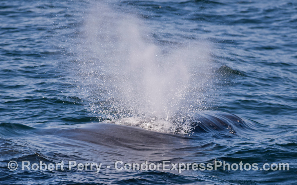 A very close look at the spout of a Humpback Whale (Megaptera novaeangliae).