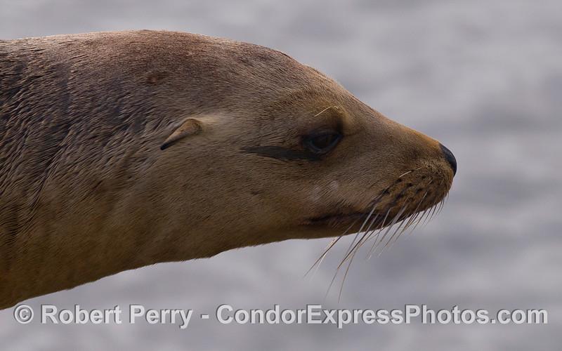 Lateral aspect of the head of a California Sea Lion (Zalophus californianus).