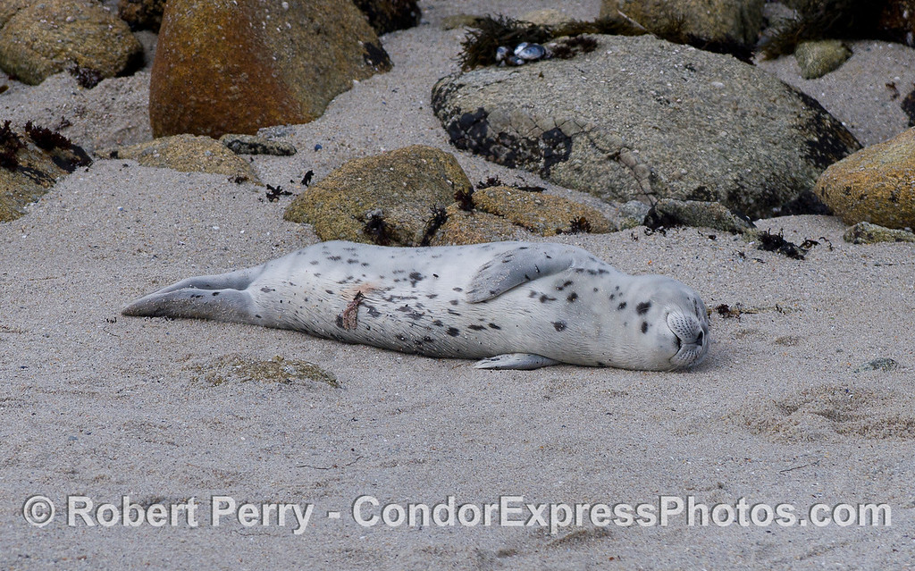 A newly born Pacific Harbor Seal (Phoca vitulina richardsonii) pup with part of its umbilical cord still visible.